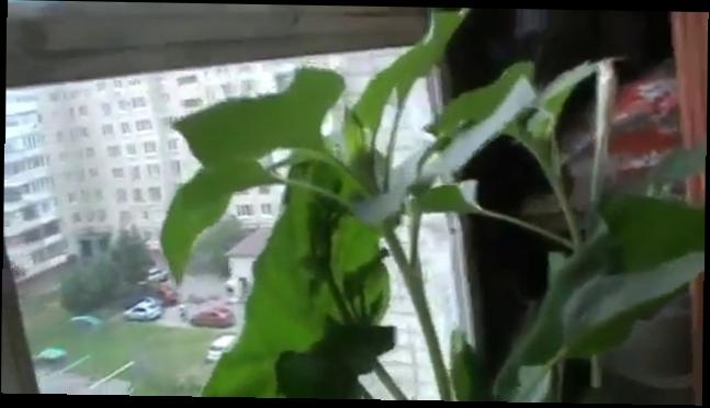 Кабачок на балконе видео прикол - умный мужчина вырастил бол.